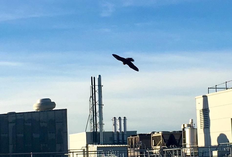 peregrine patrols for pigeons