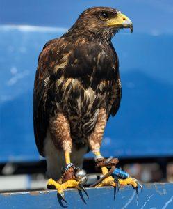 Freddie Male Harris Hawk