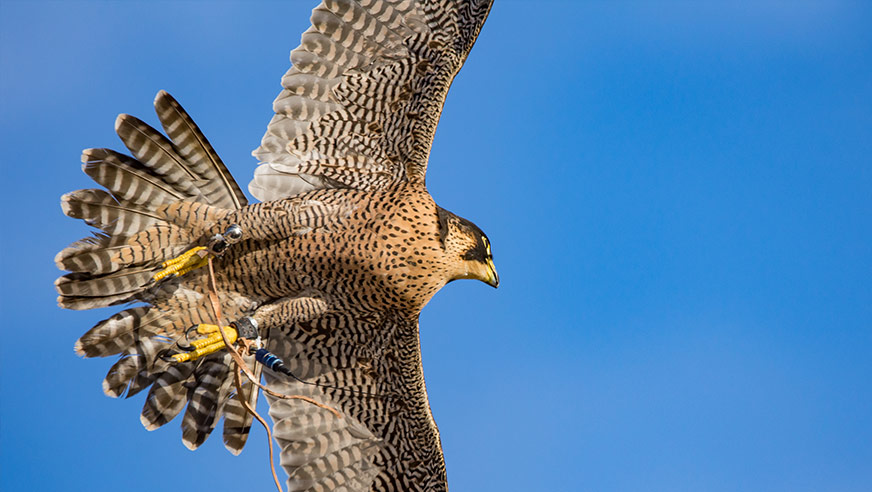 pigeon and seagull control using a Peregrine falcon