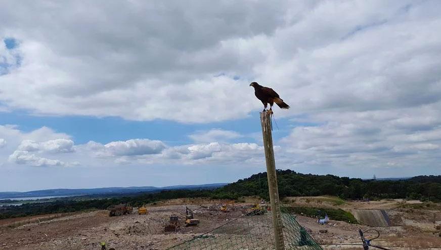 hawk scares away pest birds at landfill sites