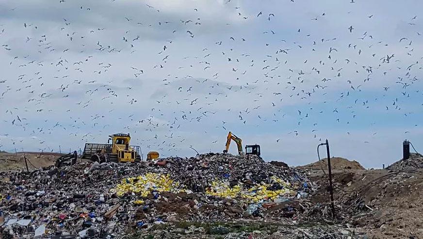 hawk bird control at landfill site