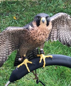 Mia Female Peregrine Falcon
