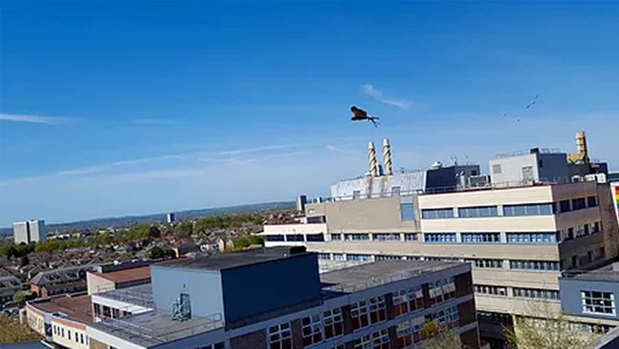 pigeon bird control using hawks