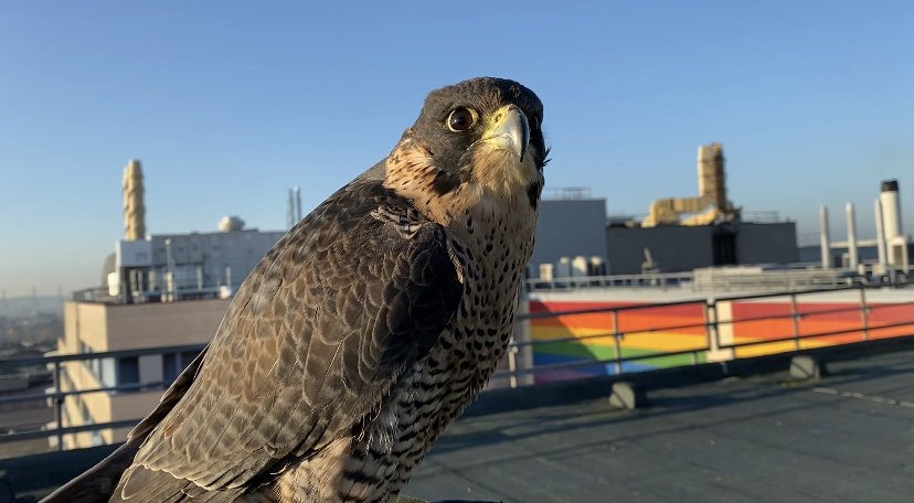 How To Get Rid Of Pigeons With Falcons Urban Wings Falconry Services