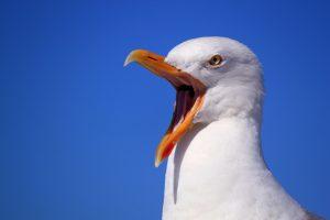 Nesting gulls become aggressive.
