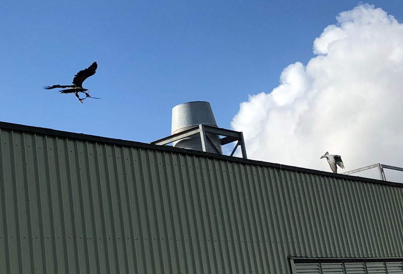 Hawk chasing pigeon at industrial unit