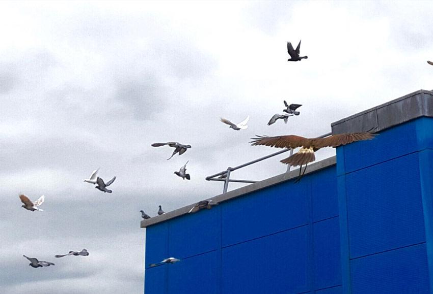 hawk clearing pigeons