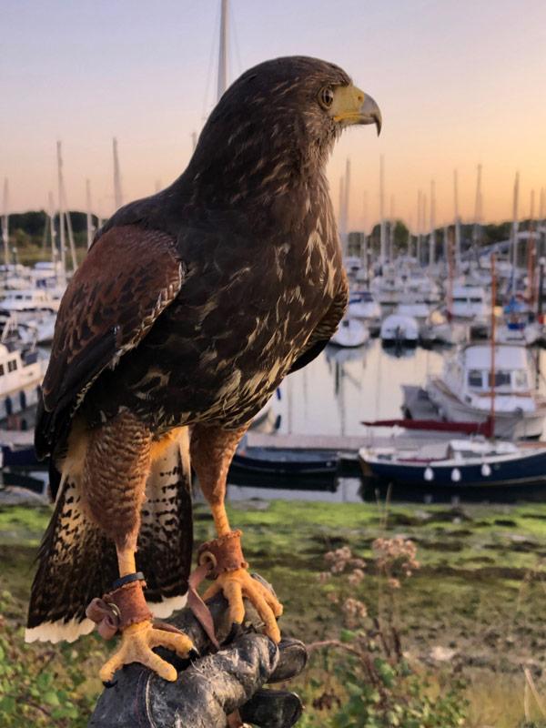 falconry for marinas