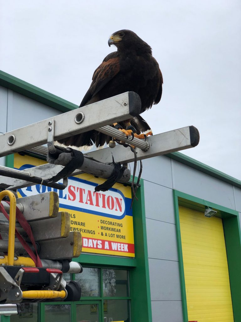 falconry for shopping centres