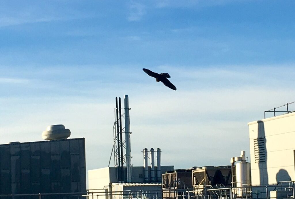 Using a Peregrine Falcon to clear pigeons on a large site.