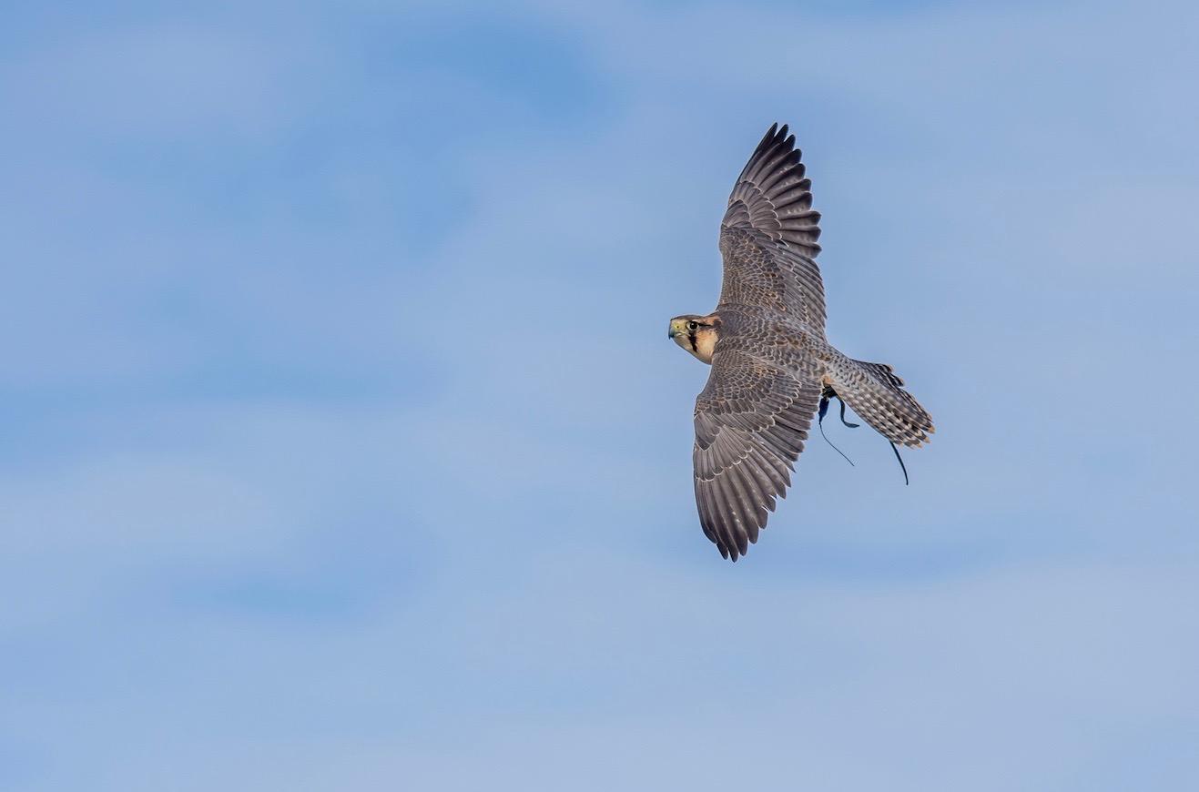 Pigeon Control Falconry