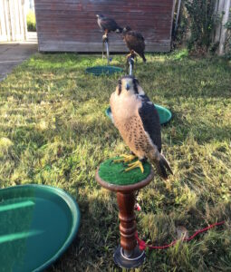 Tethered Falcon and 2 Hawks