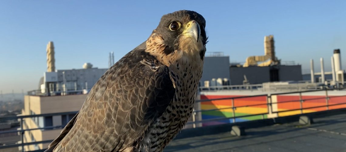 A peregrine Falcon used for pigeon control