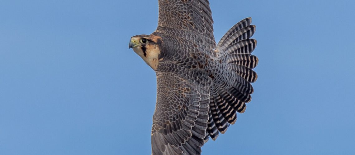 Perergrine Lanner falcon used for pes bird clearance.
